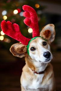 Portrait of dog wearing reindeer earsの写真素材 [FYI03576585]