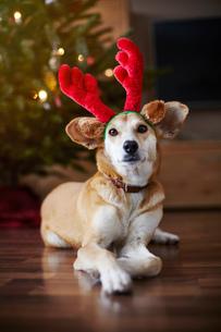 Portrait of dog wearing reindeer earsの写真素材 [FYI03576586]