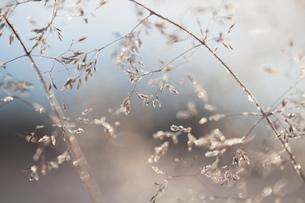 Close up of backlit frost ice crystals on wavy hair-grass (deschampsia flexuosa)の写真素材 [FYI03577187]