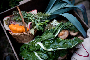 Crate of freshly picked spring greens and squash vegetable  in gardenの写真素材 [FYI03577902]
