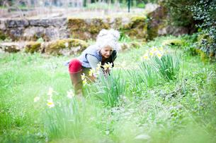 Mature female gardener tending daffodils in gardenの写真素材 [FYI03577926]