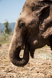 Head of elephant in animal sanctuary, Chiang Mai, Thailandの写真素材 [FYI03578659]