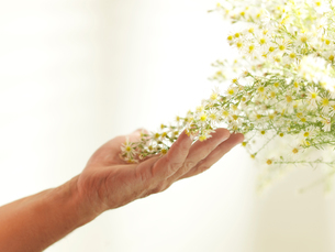 Hand of senior man gently touching yellow flowering plantの写真素材 [FYI03581711]