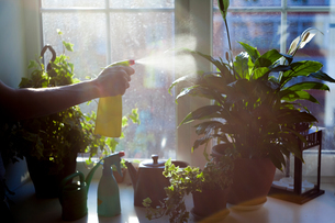 Woman spraying water onto plant, close-upの写真素材 [FYI03581947]