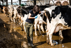 Female organic farmer taking temperature from cow's backside at dairy farmの写真素材 [FYI03582665]