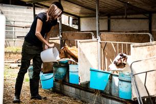 Female organic farmer feeding calves at dairy farmの写真素材 [FYI03582757]