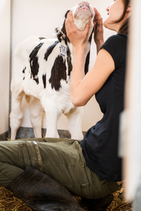Female organic farmer checking calf at dairy farmの写真素材 [FYI03582764]