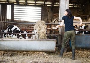 Female organic farmer feeding pitch fork of hay to calves on dairy farmの写真素材 [FYI03582770]