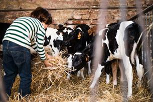 Rear view of boy scattering straw on organic dairy farmの写真素材 [FYI03582772]