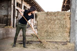 Female organic farmer pitch forking hay on dairy farmの写真素材 [FYI03582773]