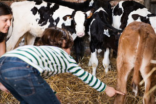 Female farmer and boy pointing at calves on organic dairy farmの写真素材 [FYI03582774]