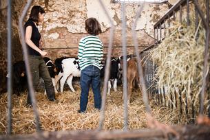 Female farmer and boy looking at calves on organic dairy farmの写真素材 [FYI03582775]