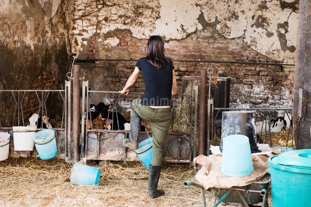 Rear view of female farmer looking at calves on organic dairy farmの写真素材 [FYI03582777]