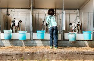 Rear view of boy petting calves on organic dairy farmの写真素材 [FYI03582780]