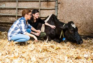 Female farmers tending sick cow at organic dairy farmの写真素材 [FYI03582781]