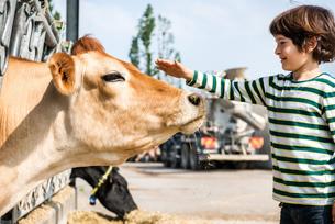Boy petting cow on organic dairy farmの写真素材 [FYI03582784]
