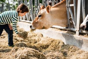 Boy feeding cow on organic dairy farmの写真素材 [FYI03582785]