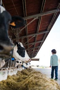 Boy watching feeding cows on organic dairy farmの写真素材 [FYI03582787]