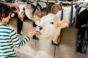 Cow licking boy's hand on organic dairy farmの写真素材 [FYI03582791]