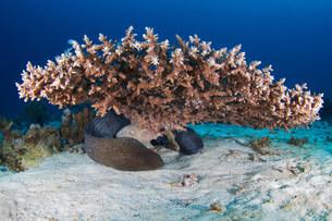 Giant moray (Gymnothorax javanicus)の写真素材 [FYI03585848]
