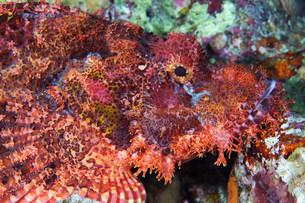 Bearded scorpionfish (Scorpaenopsis barbata)の写真素材 [FYI03585856]