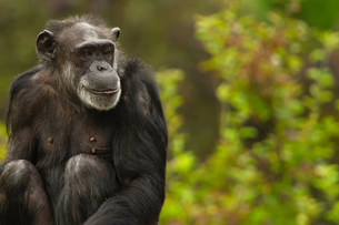 Chimpanzee, San Francisco Zoo, California, USAの写真素材 [FYI03586209]