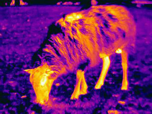 Thermal image of sheep showing thermal protection of its wool to heat lossの写真素材 [FYI03586245]