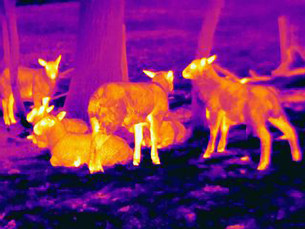 Thermal image of sheep showing thermal protection of their wool to heat lossの写真素材 [FYI03586246]