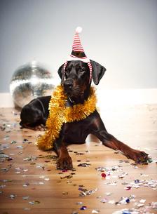 Dog wearing santa hat on headの写真素材 [FYI03586983]