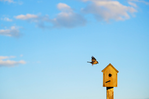 Bird flying to wooden birdhouse against blue skyの写真素材 [FYI03588188]