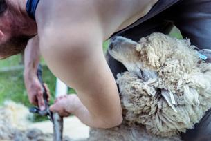 Close up of sheep shearer shearing sheepの写真素材 [FYI03589717]