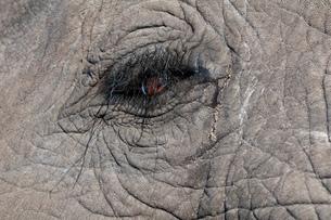 Elephant eye detail (Loxodonta africana), Abu Camp, Okavango Delta, Botswanaの写真素材 [FYI03590961]