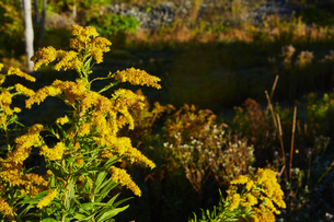 The Canada goldenrod (Solidago altissima), close-up,  Colgate Lake Wild Forest, Catskill Park, New Yの写真素材 [FYI03591362]