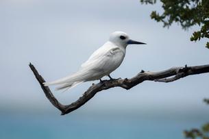 White tern perched on tree branch, Tikehau, Bird Island, Tuamotu Archipelago, French Polynesiaの写真素材 [FYI03592896]