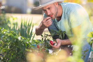 Young man in garden, tasting chilli from chilli plantの写真素材 [FYI03593013]