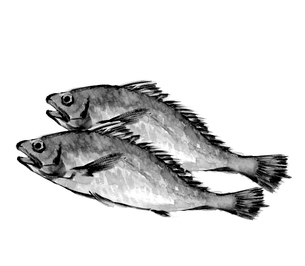 イシモチ 石持 石首魚 水墨画風 モノトーンのイラスト素材 [FYI03593884]