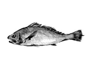 イシモチ 石持 石首魚 水墨画風 モノトーンのイラスト素材 [FYI03593901]