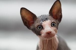 Animal portrait of sphynx cat looking awayの写真素材 [FYI03594595]