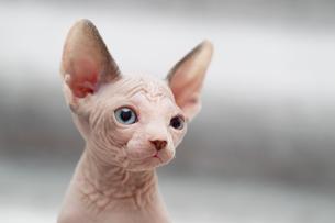Animal portrait of sphynx cat looking awayの写真素材 [FYI03594596]