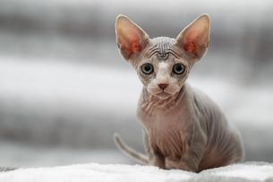 Animal portrait of sphynx cat looking at cameraの写真素材 [FYI03594597]