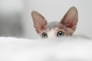 Sphynx kitten peekingの写真素材 [FYI03594599]