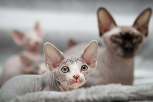 Sphynx kitten with motherの写真素材 [FYI03594600]