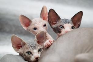 Sphynx kitten peeking over motherの写真素材 [FYI03594603]