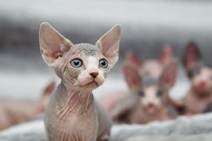 Animal portrait of sphynx cat looking awayの写真素材 [FYI03594604]