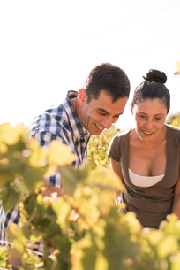 Male and female winemakers checking vines in vineyard, Las Palmas, Gran Canaria, Spainの写真素材 [FYI03594665]