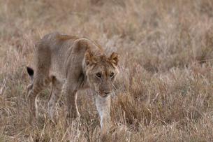 Sub adult lion (Panthera leo), Masai Mara, Kenyaの写真素材 [FYI03594871]