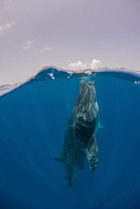 Whale shark feeding on water surface, Cancun, Quintana Roo, Mexico, North Americaの写真素材 [FYI03595710]