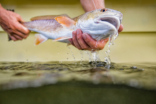 Man releasing small redfishの写真素材 [FYI03595883]