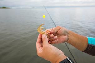 Hooking shrimp baitの写真素材 [FYI03595906]
