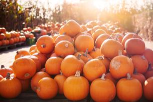 Pumpkin harvestの写真素材 [FYI03596566]